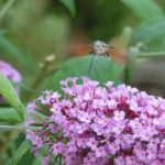 Hummingbird Hawk Moth in the garden
